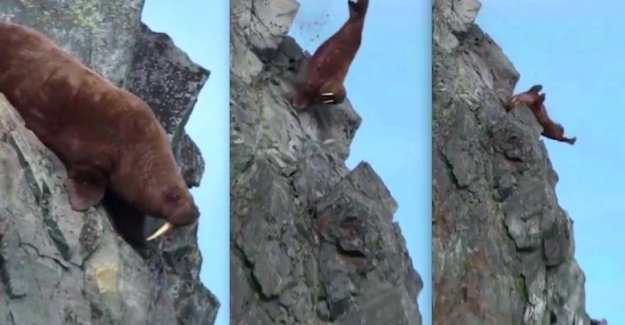Pressure on land: Here commit walrus suicide
