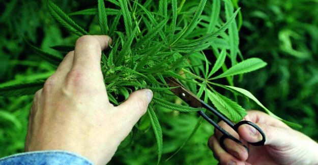 Research: Marijuana users are more difficult to anaesthetise