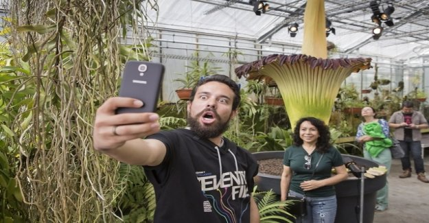 Seven days a state of emergency, now the corpse flower stinks
