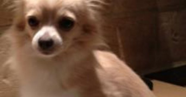 'Stolen' chihuahua dives after four days back on: honest finder refuses a reward of 2,000 euros