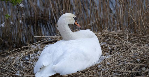 Swan shot in Malmö: It was too aggressive