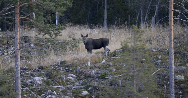 Swimming moose to a slow success