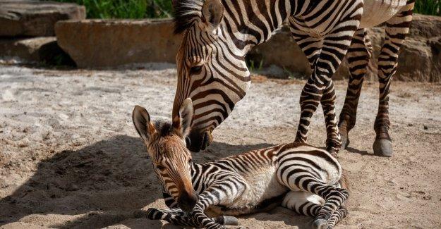 The Antwerp ZOO welcomes small zebra Ulani