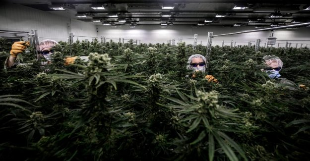 The legalization of cannabis will be elections in Belgium