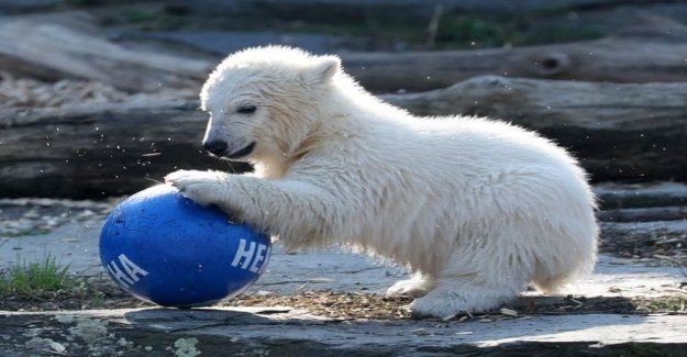 The polar bear cub was inspired by the ball games - cool thing was finally named