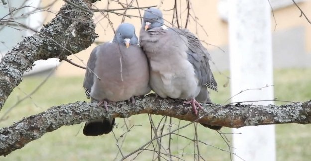 This cuddles the turtle-doves outside Nils window