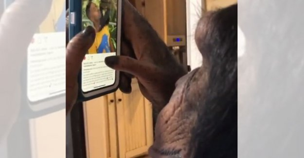 VIDEO. Chimpanzee by Instagram scrolls endears, but there is a dark side to this