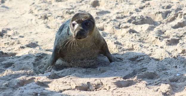 VIDEO. Seal population last 10 years, increased tenfold: People get used but better picture of resting seals on the beach