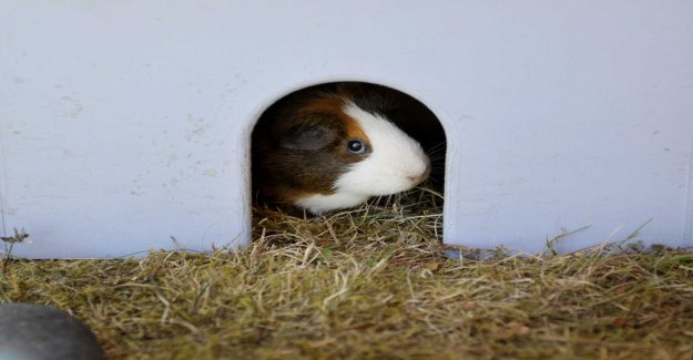 Abandoned guinea pig is taken care of