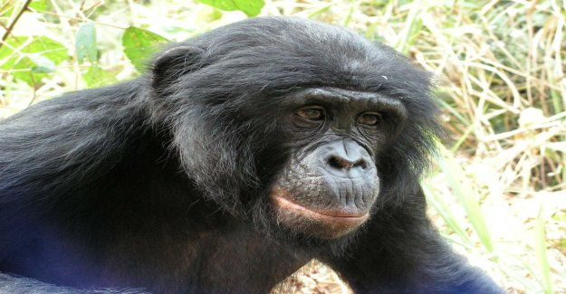 Chimpanzee carries on the dna from the unknown människoapa