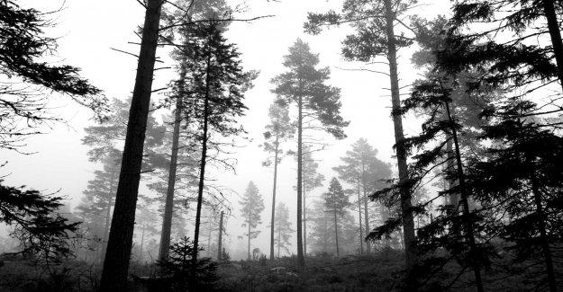 Dwindling pine forest concern forest agency