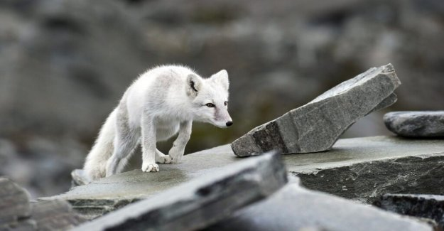 Good news for the arctic fox – is growing stronger and stronger