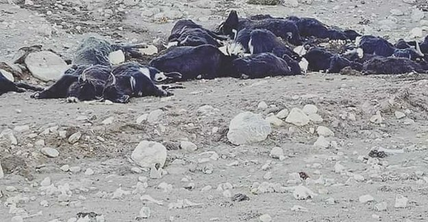 Hundreds of yaks died a death by starvation