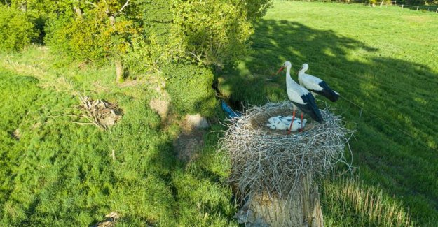 IMAGE. Stork comes along with ooievaarskoppel in Maaseik