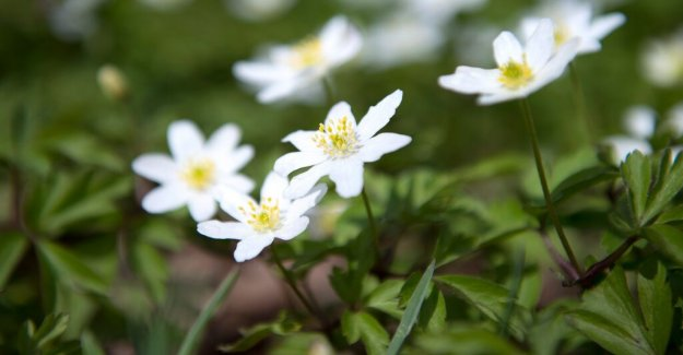 Karin Bojs: Time to go out and scout at the wood anemones