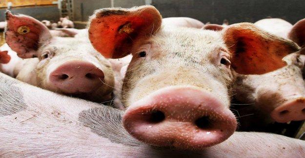 Millions of vietnamese pigs pestsmittade