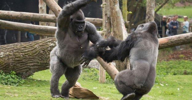 Pairi Daiza: Defined of gorillas is part of their social behavior