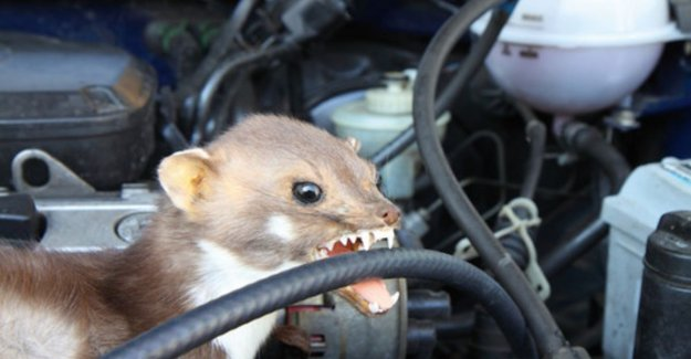 This car is the nightmare of every marten