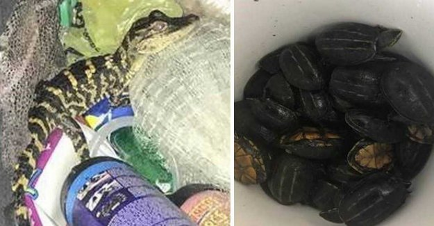 Woman stopped by police and had alligator in the pants