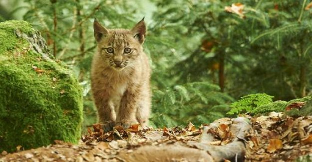 More lynx roam Germany's forests
