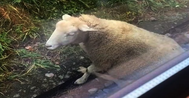 Train in a sheep herd – four animals die