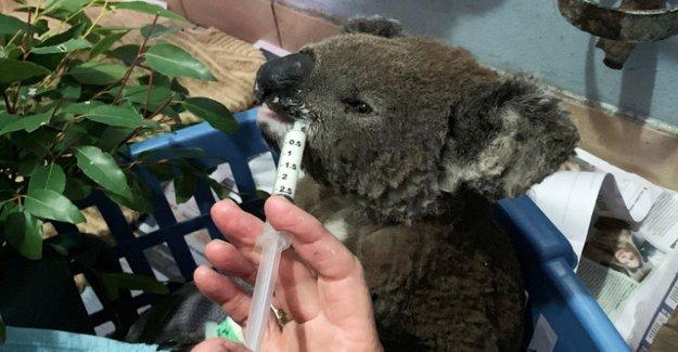More than 2000 Koalas in Australia burned