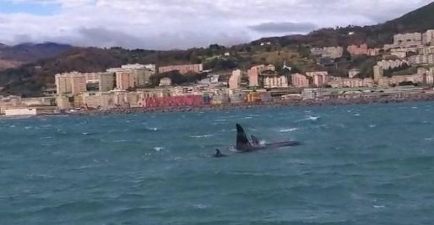 The killer whales of Genoa, the Enpa afraid of the nets, and lack of food