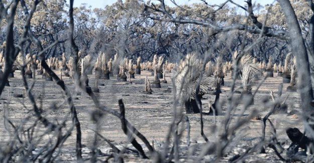 Australia, Wwf: 8 thousand koalas dispersed in the fires, the dead 480 million animals