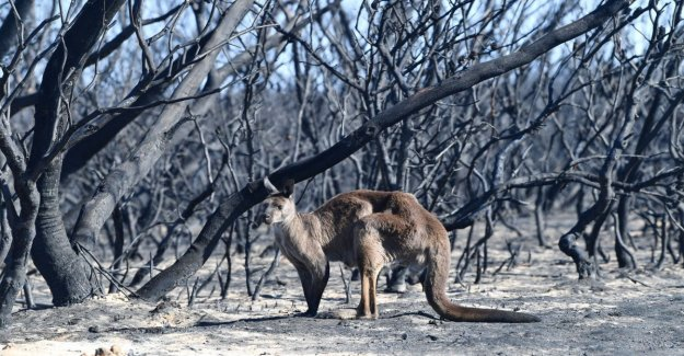 Australia, over 180 people arrested for arson. Authorities order demolition of 10 thousand camels