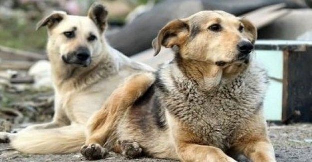 Stray dogs and not trained to understand the commands of the man