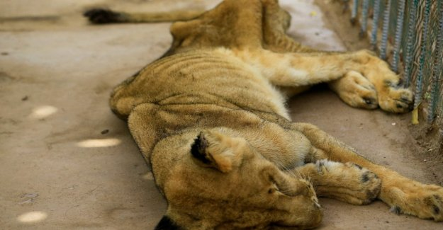 Sudan, the lions of the zoo are dying, on social the campaign to save them