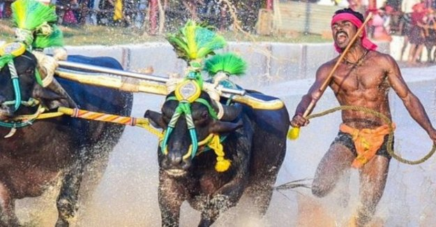 India, Srinivas Gowda: the young worker who runs with buffalo as fast as Bolt