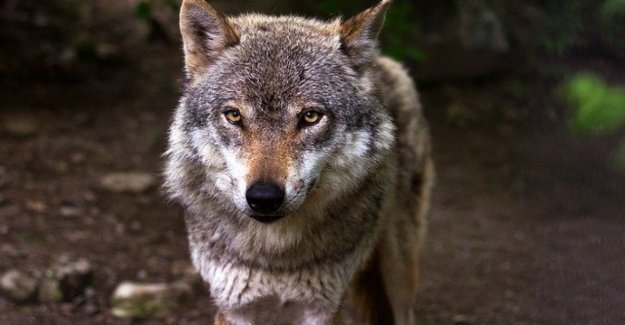 Arvo, the wolf saved and killed in the Same