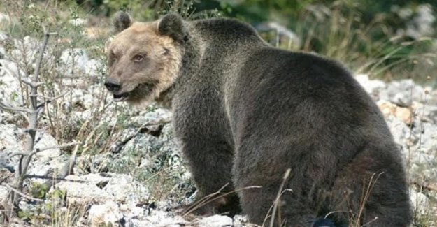 M49 exit from hibernation, restarts the tracking of the bear problematic