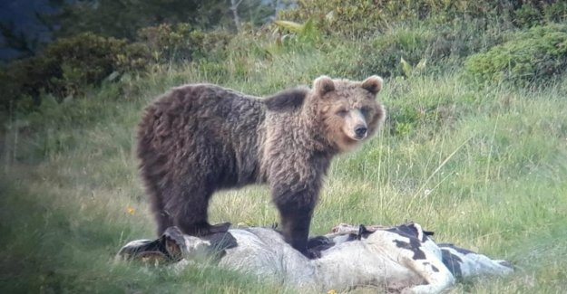 Trentino, the brown bear, M49 yet close to the towns, applies the ordinance to bring it down