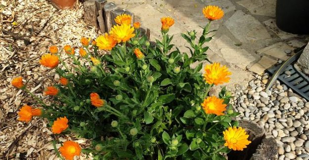 Marigolds and nasturtiums: should it be sown every year?