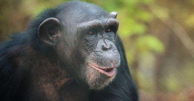 Precursors to speech found in chimpanzees