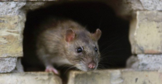Rat found in politicians ' canteen at Christiansborg