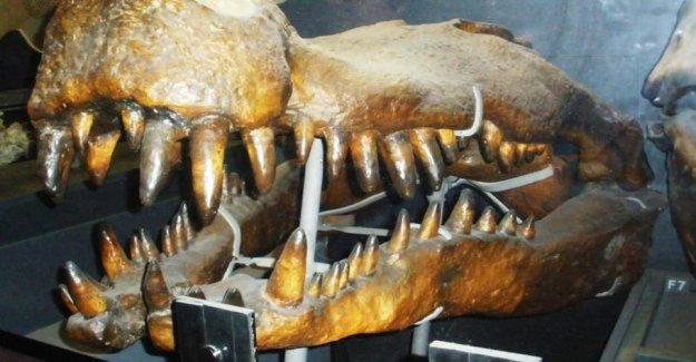 Dinosaur horror: Kæmpekrokodiller had huge teeth