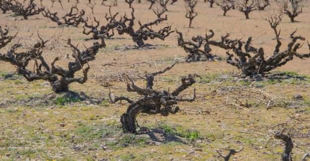 Toro — the essence of the old vines