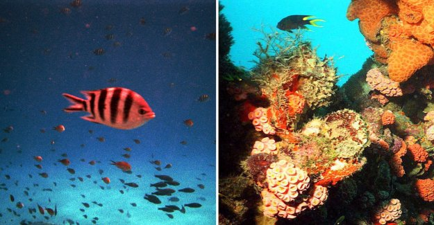 The new discovery is More coral than previously thought