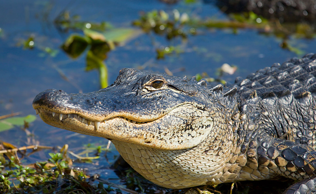 Alligators eat smoke and drone through the air