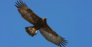 In val Roja, in a nest of the golden eagle at the lowest altitude of all the Alps