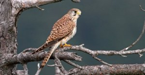 Lipu, the birds in Italian cities: more hawks, and spikes, less sparrows
