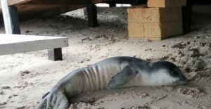 The death of the puppy of the monk seal beached in Salento: the Species at risk