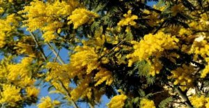 This crazy winter has sent nature into a tailspin: the mimosas are already in flower