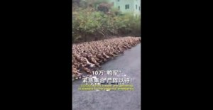 China, an army of ducks against the locust
