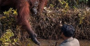Give me your hand, the photo of the orang-utan of Borneo which approaches the man