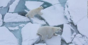 Polar bears, increased cannibalism. Hungry because of climate change