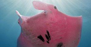Rare manta rosa photographed in Australia